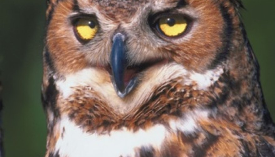 The great horned owl is just one of many carnivores that inhabit temperate forests.