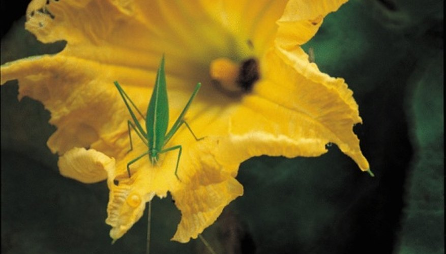 A katydid on a female pumpkin flower