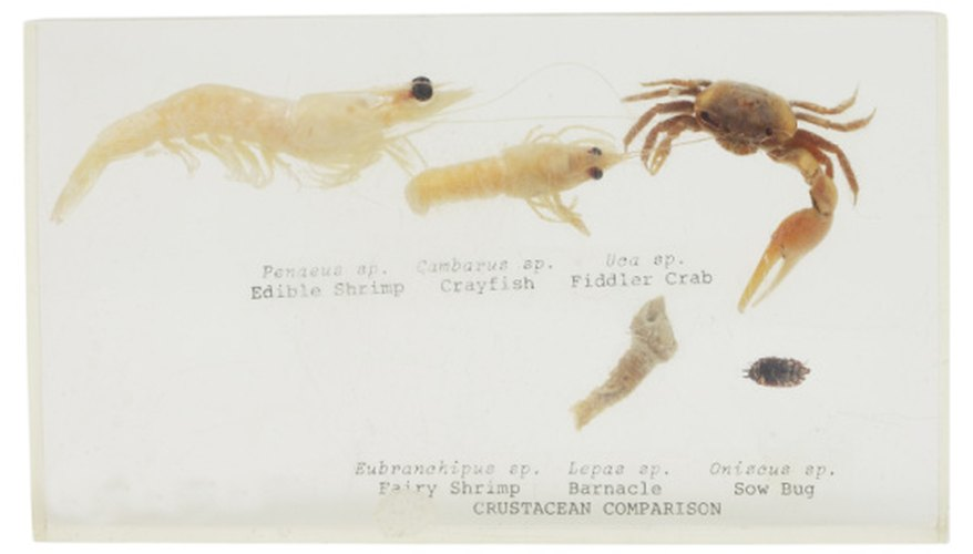 Roly polies are crustaceans much like shrimp or crayfish.