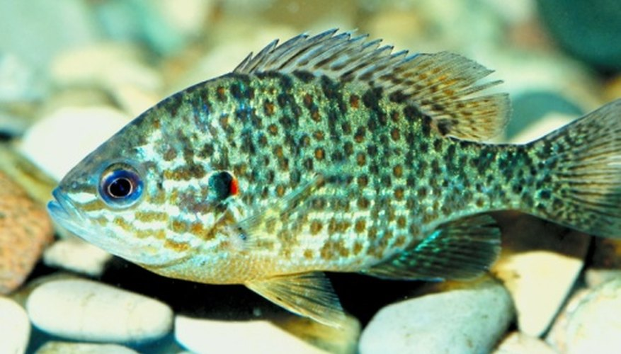 There are many varieties of sunfish.