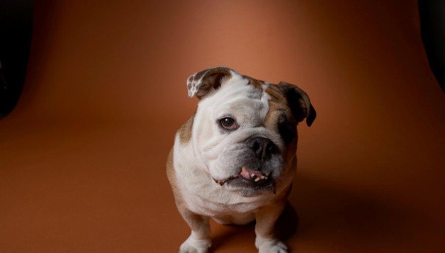 English bulldogs originated from the British Isles.