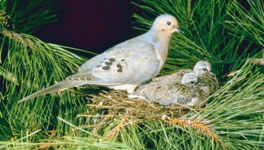 The coo of a mourning dove is long and drawn out.