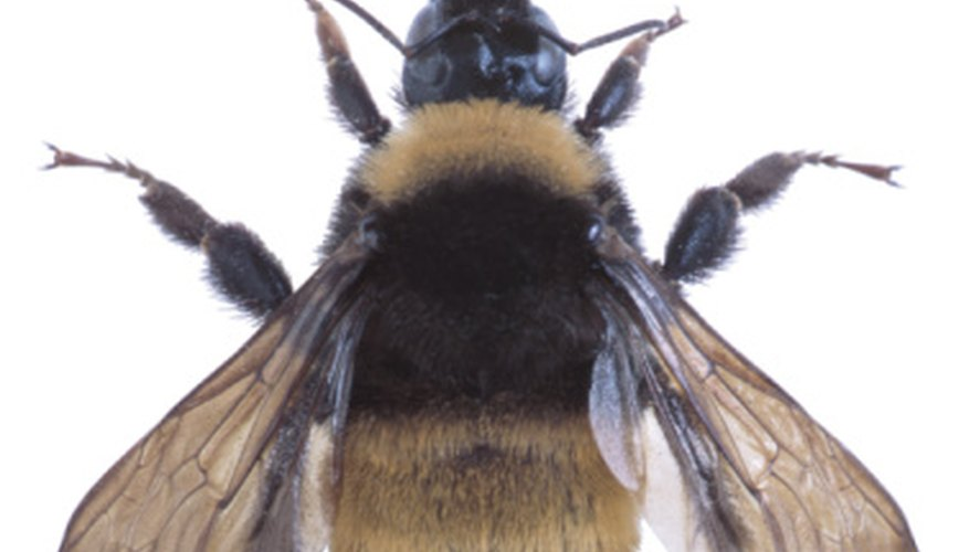 Repelling bumblebees with natural methods is suggested, if possible.