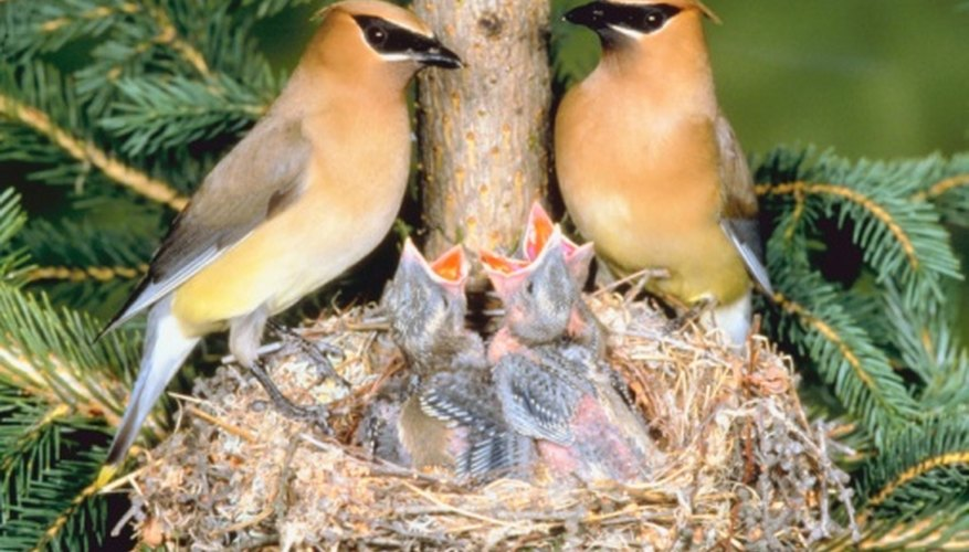 Waxwings are seed eaters of the coniferous forest.