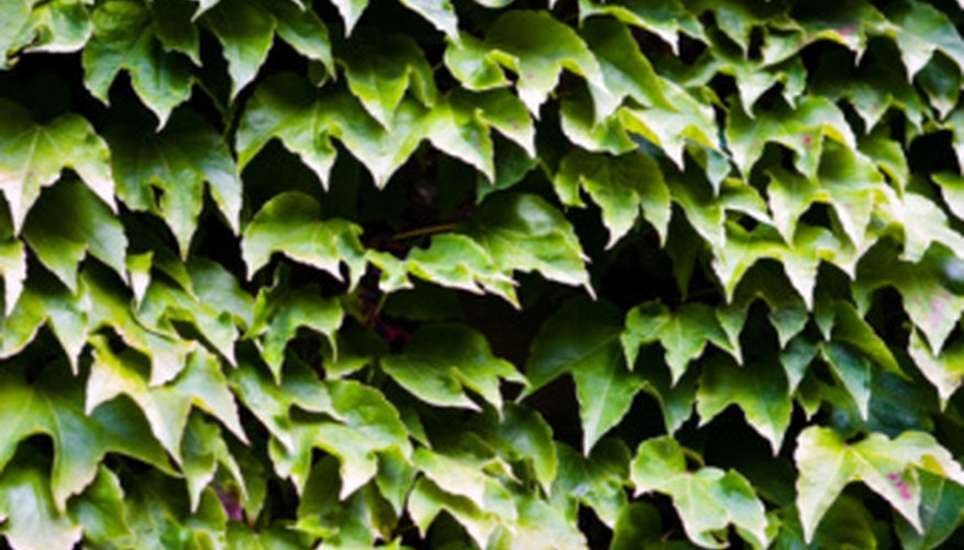 English ivy is a ground cover plant.