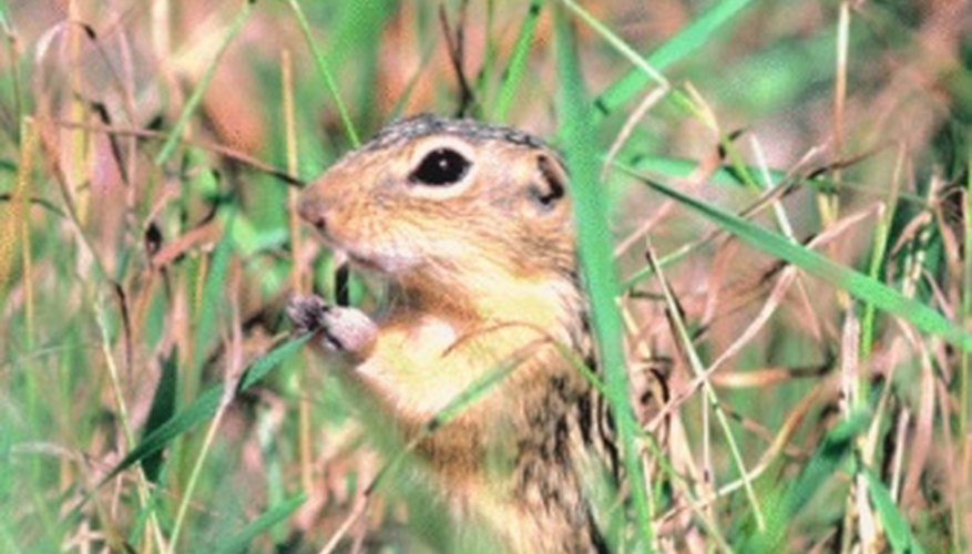 Tunneling rodents cause plant damage.