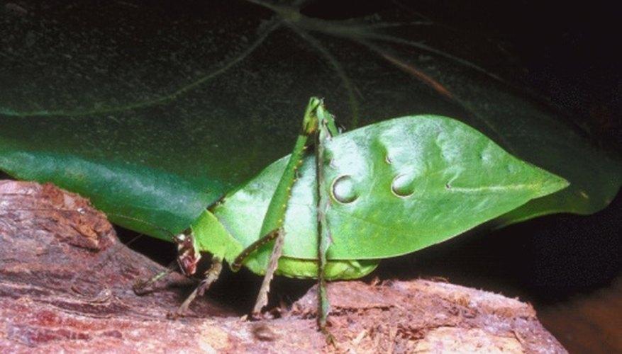 A katydid undergoes partial metamorphosis.