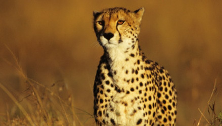 Cheetahs are largely solitary animals.
