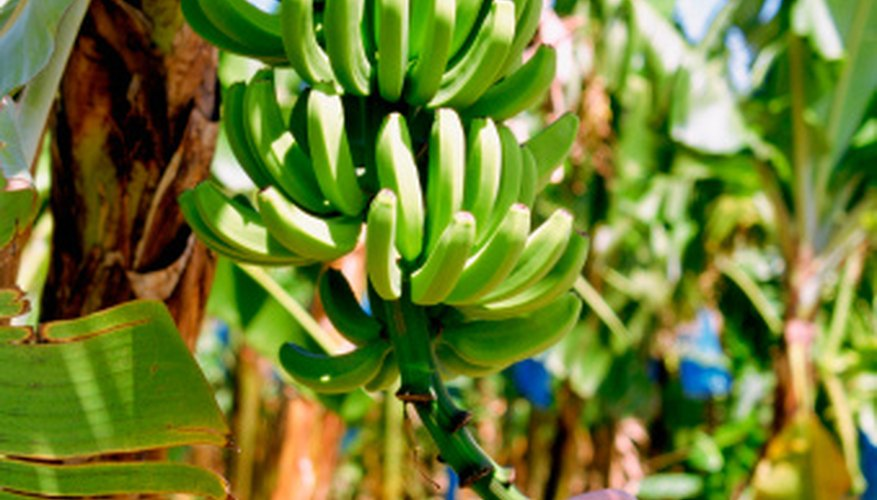 Fertilization is key to growing a healthy banana tree.