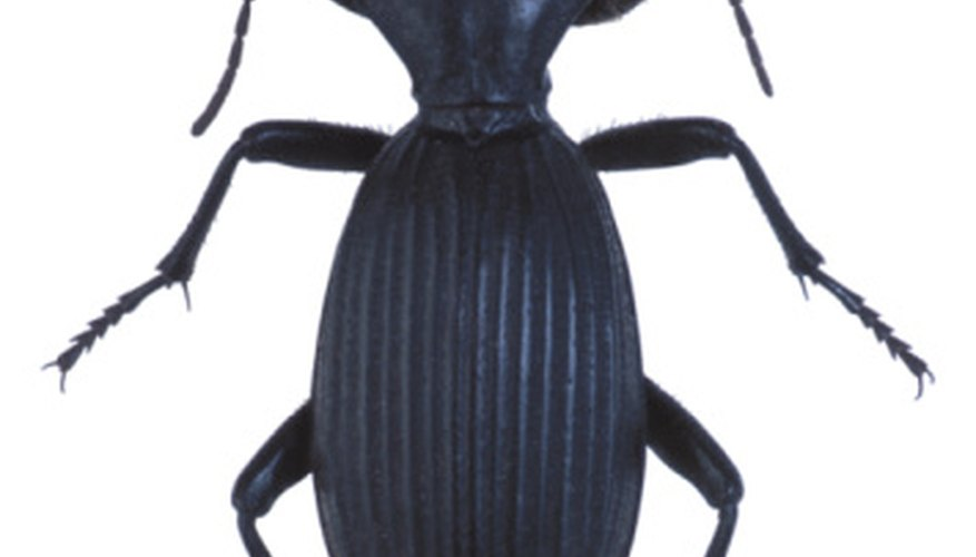 The most commonly found ground beetle.
