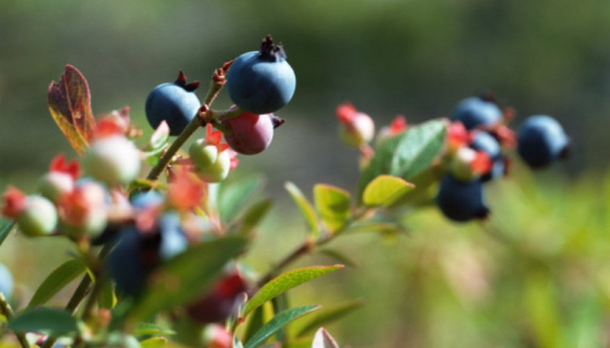 A large number of berry bushes can be planted in a small space.