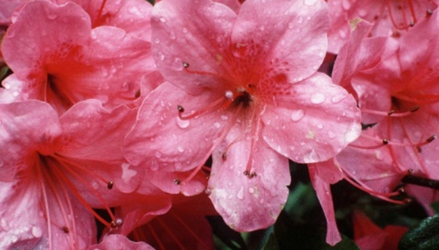 Azaleas come in nearly any color imaginable.