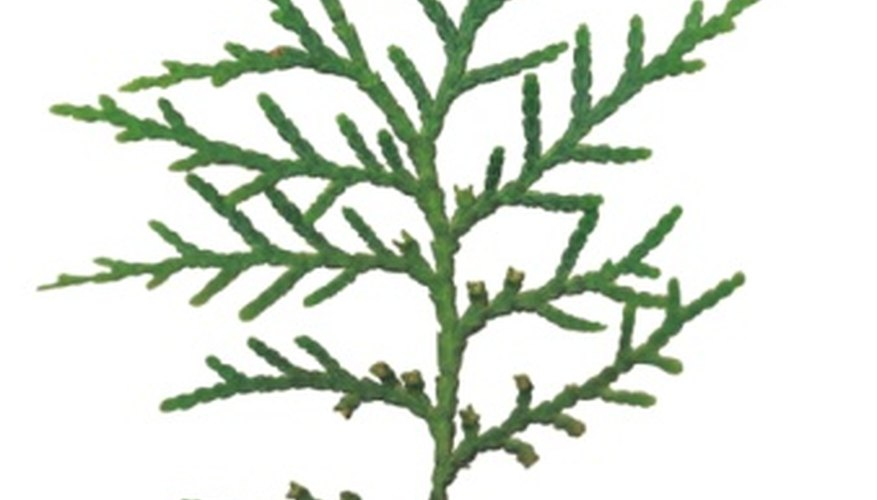 Many species of Thuja can be found.