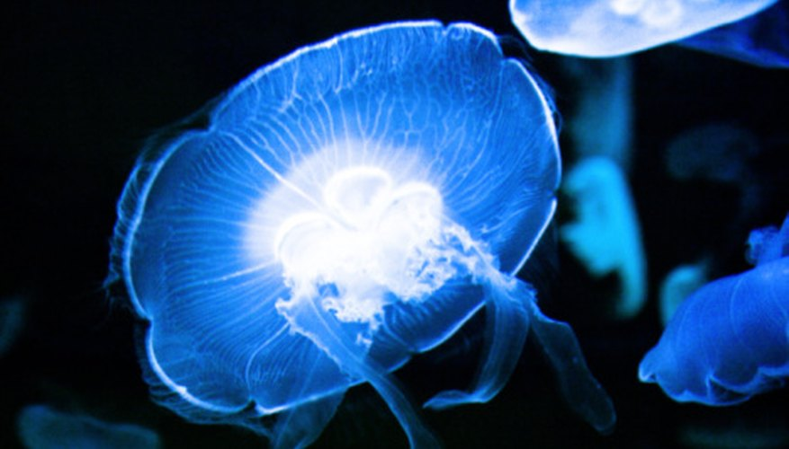 Jellyfish are free-floating animals that drift on ocean currents.