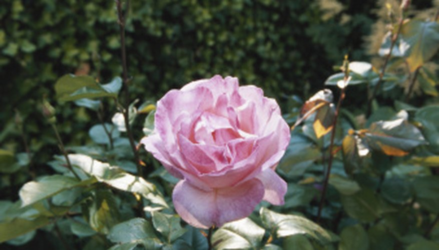Healthy roses require only moderate soil acidity.