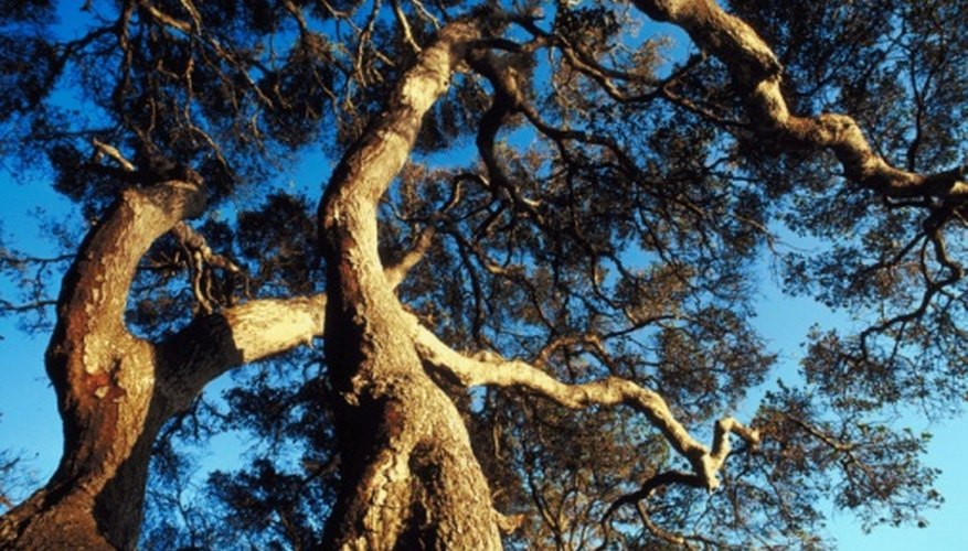 Live oak trees are known for their twisted, sprawling branches.