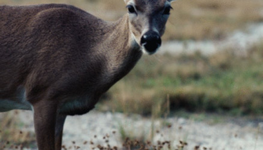 Attracting more deer to your property is quick and easy.