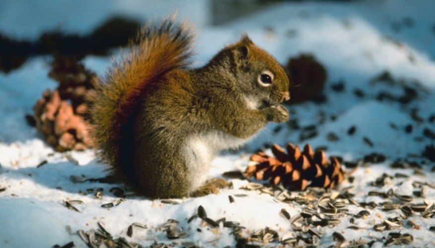 Squirrels especially appreciate extra food in winter.