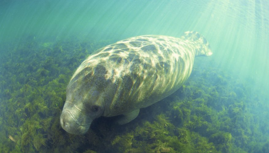 When grazing, a manatee uses a flexible, split upper lip to efficiently gather food.