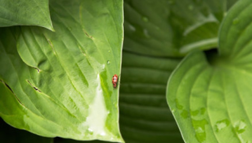 Release predator bugs, such as ladybugs, on your hostas.