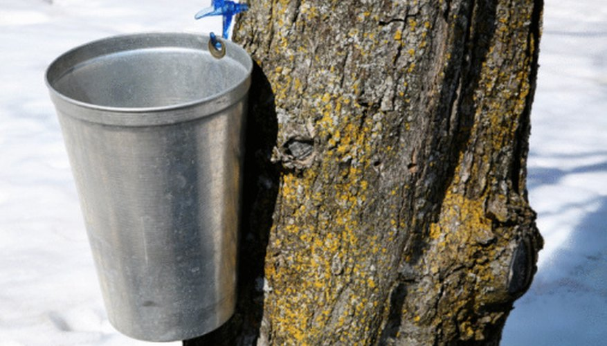 Sugar Maple and Sweetgum trees both provide sap for maple syrup.
