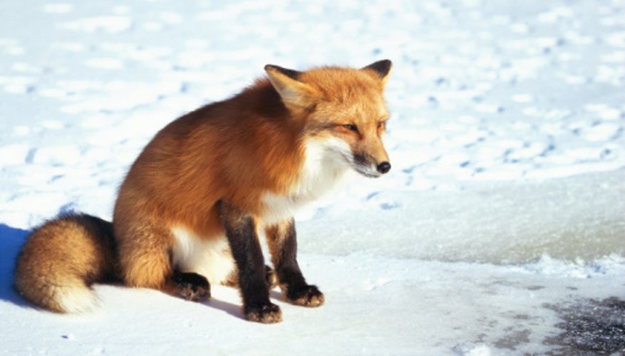 The red fox can be found year-round in Ohio.