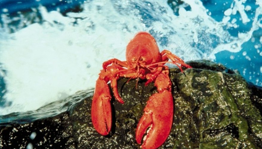 Lobster turns red when you cook it but is not red in its natural habitat.