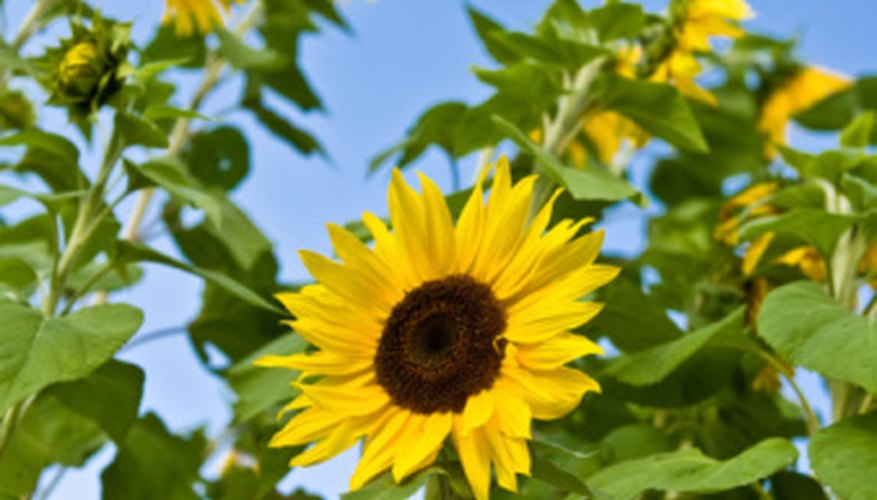 A chemical exuded from sunflowers' roots retards the growth of many plants.