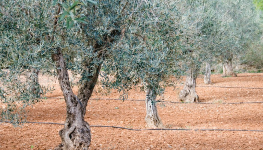 Fruitless olive tree varieties provide cleaner ornamental landscaping options.