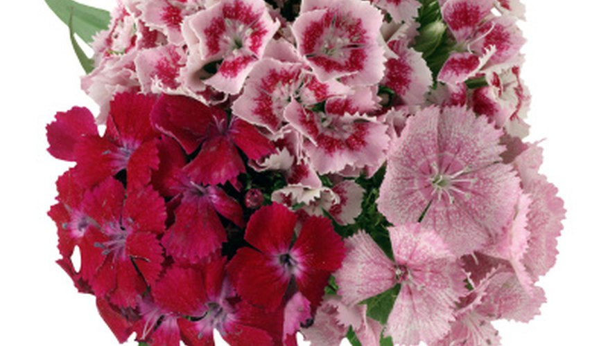Dianthus is drought-tolerant and is an excellent cut flower.