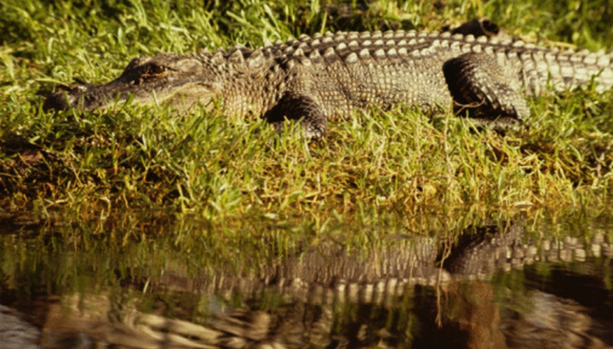 A pond offers enough food for several small alligators, or one big alligator.