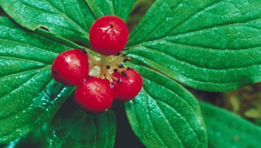 Huckleberry varieties include red or purple types.