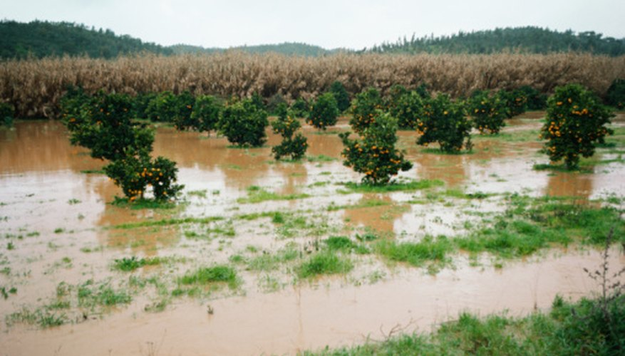 The long-term effects of flooding on this Florida orange grove may be beneficial.