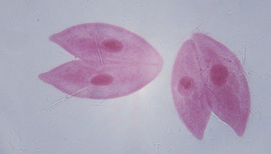 Los protozoos, como el paramecio, son organismos unicelulares.