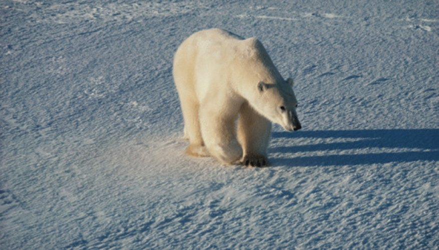Polar bears are among the few animals that live year round in the tundra.