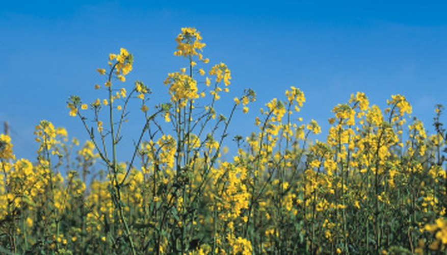 Many yellow-flowered weeds produce pollen that aggravates allergies.