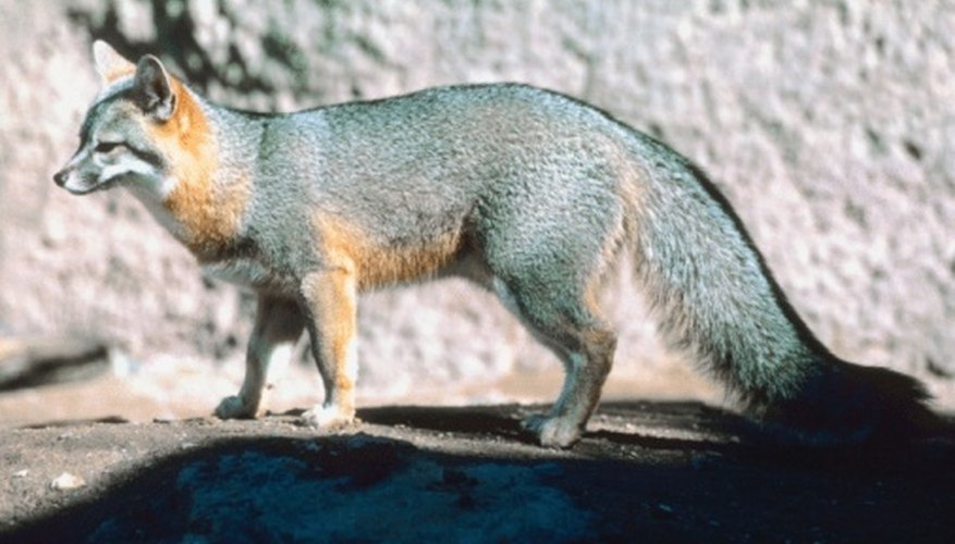The gray fox is the only fox species native to Ohio.