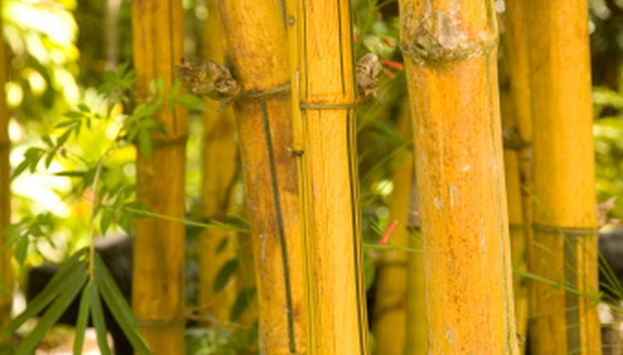 Although different bamboo do best in different types of light, all bamboo need light.