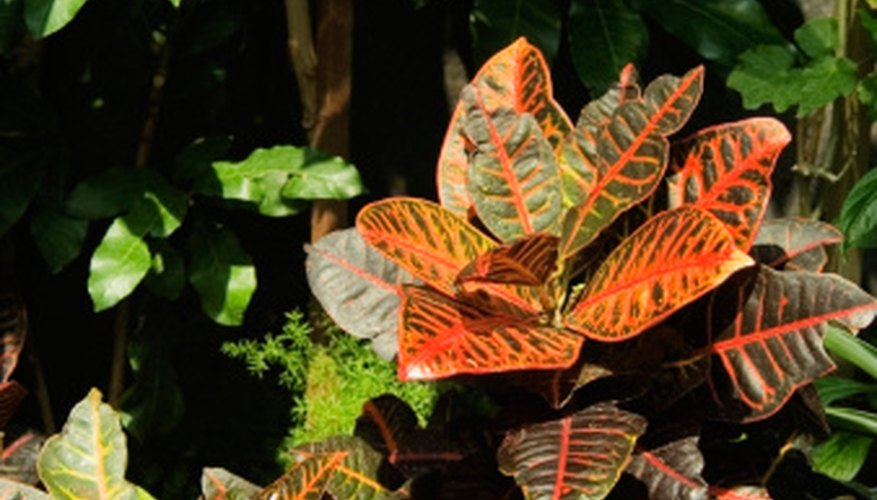 Croton leaves are large, thick and leathery.