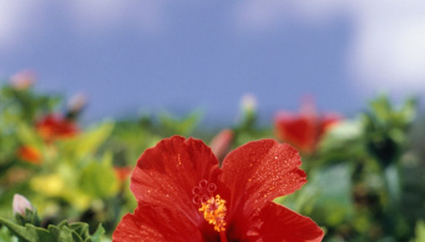 The size of hibiscus plants will change over time as they grow and spread.