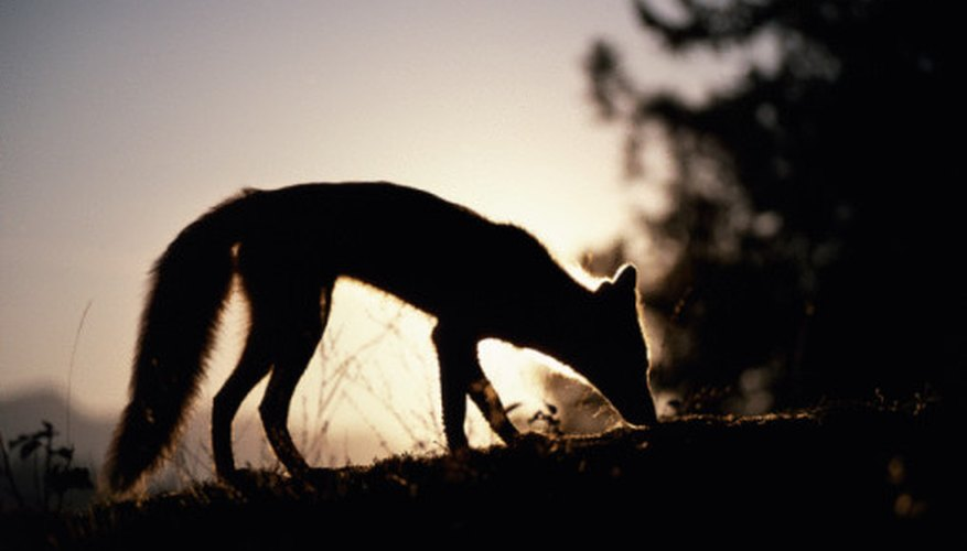 Foxes like to hunt alone when it is dark.