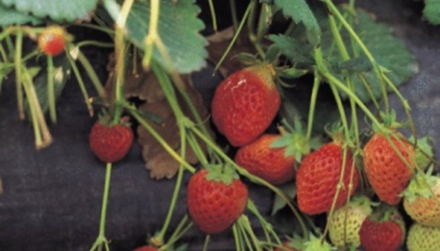 Keep your strawberries off the ground for the best quality yields.