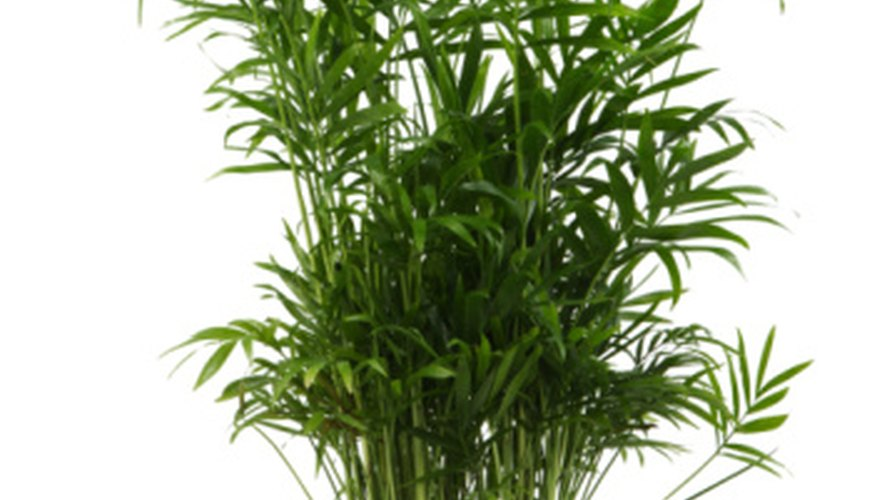 Bamboo requires fertilizer to grow.