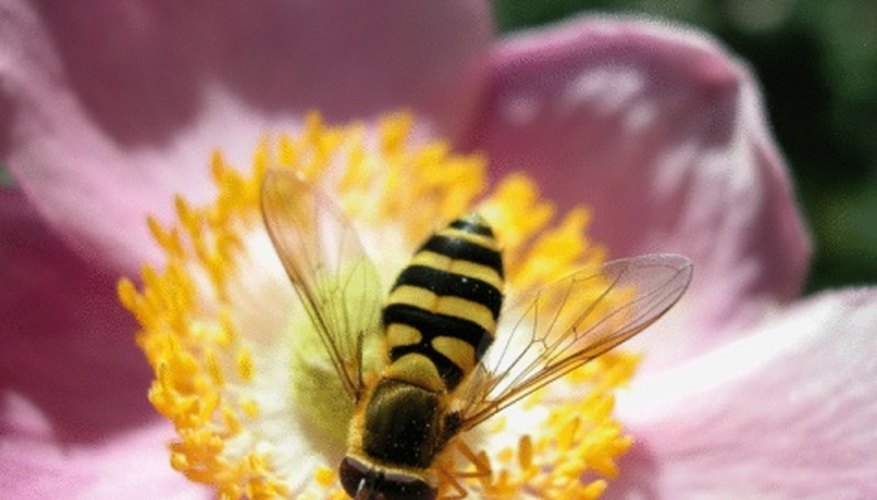 Bumble bees are attracted to flowers with striped petals