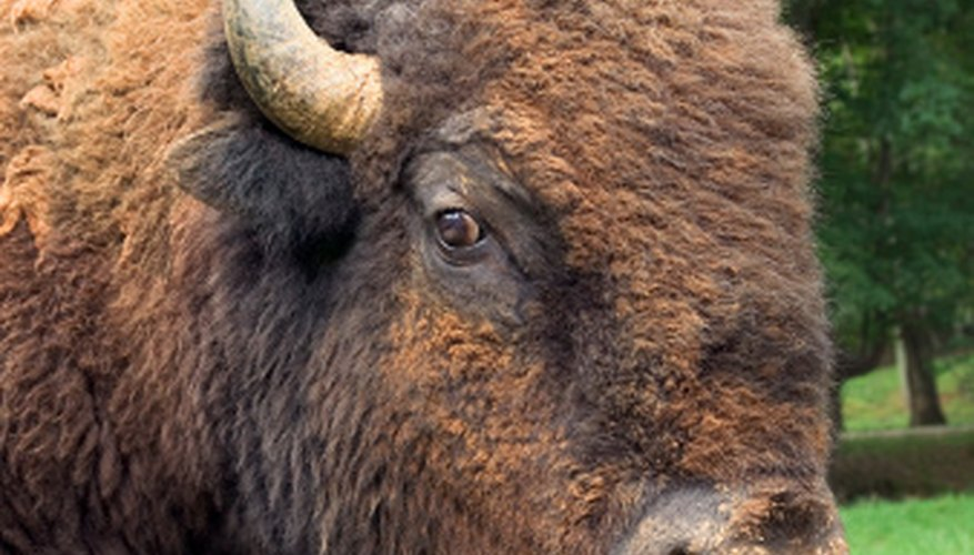 Bison horns can grow to be 2 feet in length.