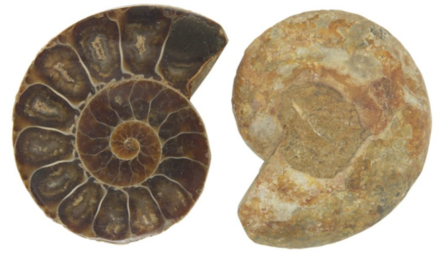 Ammonites are typical finds in bearpaw shale.