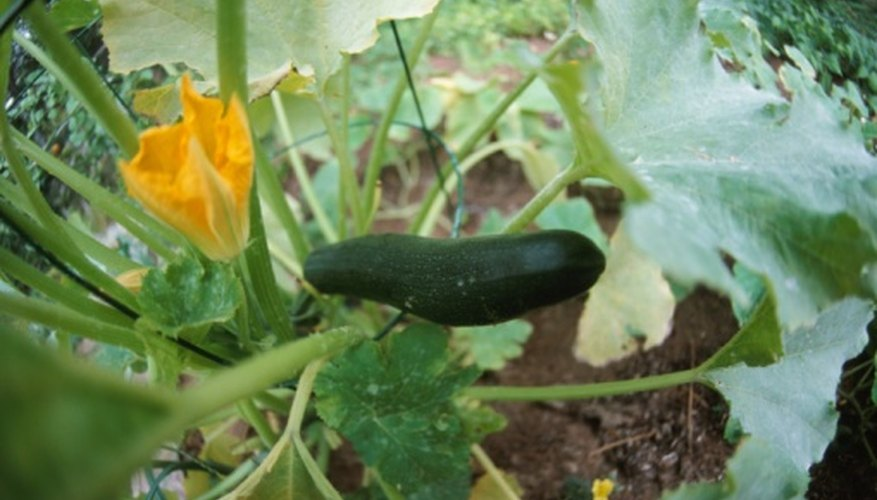 Large zucchini leaves can prevent the sun from reaching the fruit.