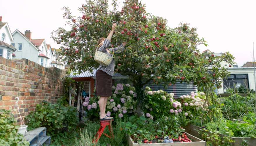 Many varieties of apple grow under 14 feet tall.