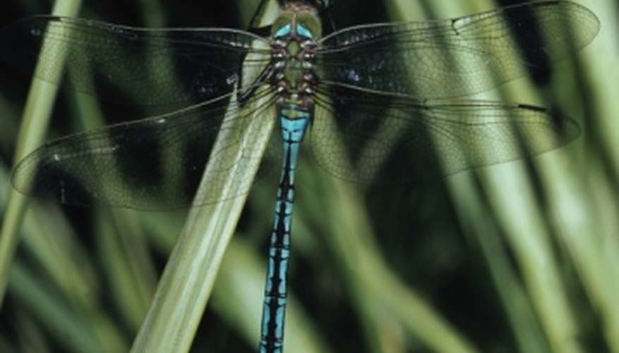Dragonflies spend part of their lives in an aquatic environment.
