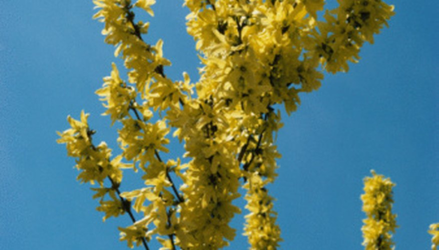 The forsythia, or yellow bell shrub, is among the first shrubs to bloom in early spring.